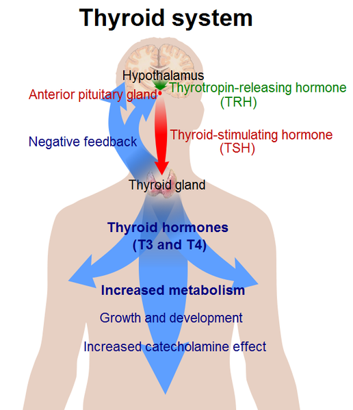 iodine and thyroid gland At present, the only physiological role known for iodine in the human body is in  the synthesis of thyroid hormones by the thyroid gland2.